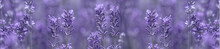 Aromatic Lavender Grows On The...