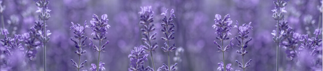 Panel Szklany Natura aromatic lavender grows on the field
