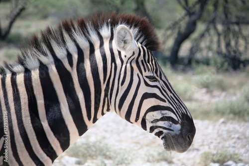 Tuinposter Zebra Head of a Burchell's zebra in Etosha National Park, Namibia Africa