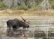 Bull Moose Grazing In A Pond In Autumn In Algonquin Park, Canada