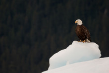 Bold Eagle Resting On Iceberg ...