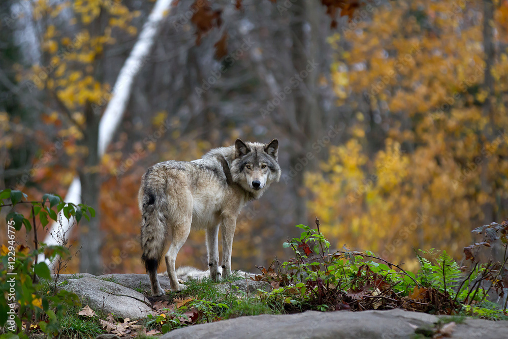 Timber wolf or Grey Wolf (Canis lupus) on top of a rock looks back on an autumn day in Canada
