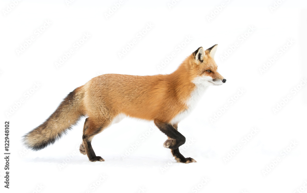 Photo  A Red fox (Vulpes vulpes) with a bushy tail isolated against a white background