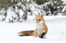 A Red Fox (Vulpes Vulpes) With A Bushy Tail Isolated Against A White Background Hunting In The Winter Snow In Algonquin Park, Canada
