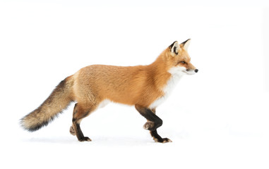 Fototapeta A Red fox (Vulpes vulpes) with a bushy tail isolated against a white background hunting in the winter snow in Algonquin Park, Canada