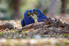 Hyacinth Macaws On A Ground In The Nature Habitat, Wild Brasil, Brasilian Wildlife, Birding, Biggest Parrot, Blue Magic, Palm Nuts, Blue