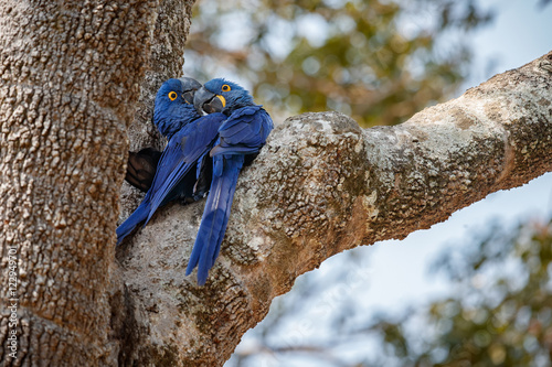 hyacinth macaws love on a palm tree in the nature habitat, wild brasil, brasilia Slika na platnu
