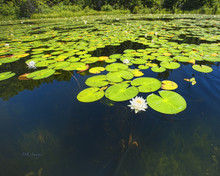 Lily Pads On Pristine Lake