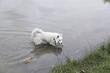 Samoyed river bathing