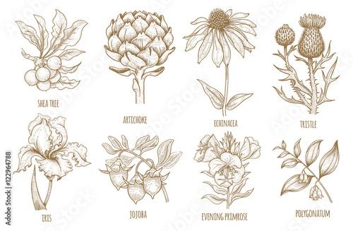 Fotografie, Obraz  Shea tree, echinacea, artichoke, thistle, iris flower, jojoba, evening primrose, polygonatum
