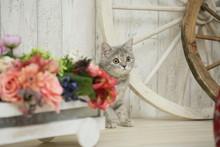 花と子猫(ブリティッ...
