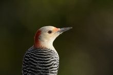 Red-bellied Woodpecker Close-u...