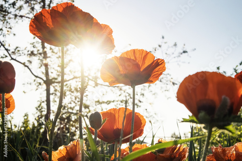 Low angle view of poppy flowers against sky during sunny day - 122996310