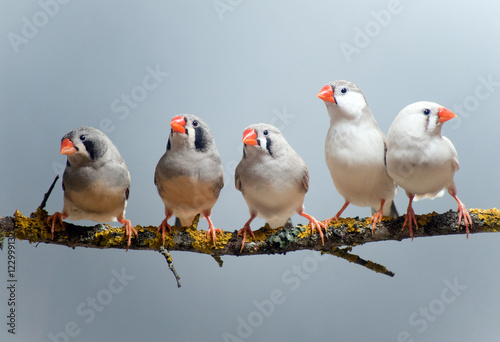Photographie Australian Zebra Finch flock of five, perched on a branch
