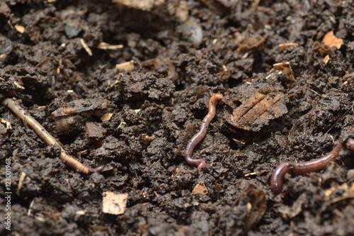 Lombrices rojas de California en un vermicompostador.