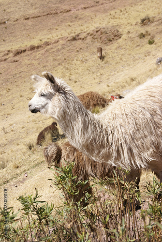 Llama, grazing on high meadow