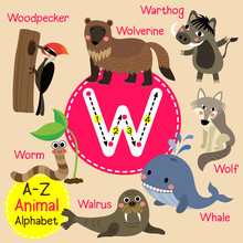W Letter Tracing. Cute Children Zoo Alphabet Flash Card. Funny Cartoon Animal. Kids Abc Education. Learning English Vocabulary. Vector Illustration.