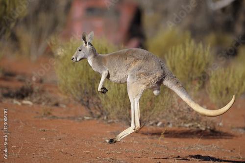 kangaroo in outback Australia.