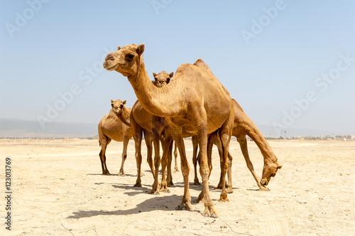 Keuken foto achterwand Kameel Camels at the beach of Salalah, Dhofar, Sultanate of Oman