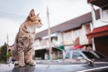 Tiger Cat Sitting Near On Car,focused Cat Face