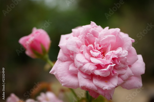 Soft focus closeup of pink Bishop's Castle rose,beautiful English rose breeder b Poster
