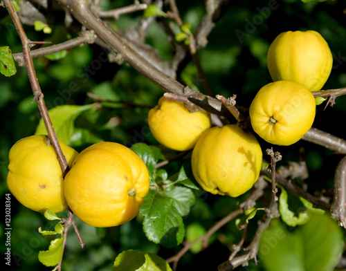 Photographie Ripe fruits of a quince Japanese (Chaenomeles japonica (Thunb.)