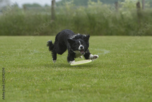 Poster Dog Border collie achter frisbee aan