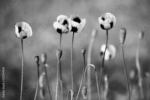 Plakat Czarno-białe kwiaty maku