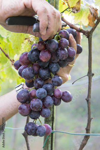 Fotografiet  Farmers hands with garden secateurs and freshly blue grapes at harvest, Chianti Region, Tuscany, Italy
