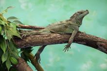 Weber's Sailfin Lizard (Hydrosaurus Weberi).
