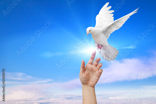 Foto En Lienzo - White Dove out of the hand on blue sky