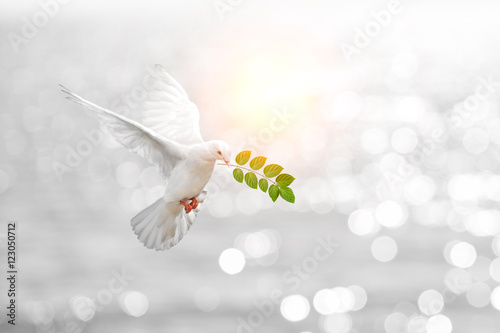 Foto En Lienzo - Dove carrying leaf branch