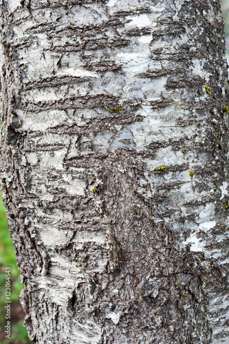 Plum tree bark