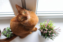 Abyssinian Cat Sitting On The ...