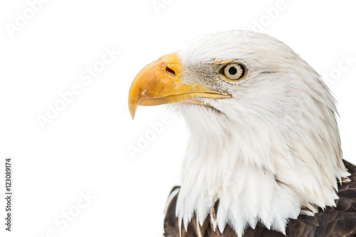 Poster Eagle Bald Eagle in Snow