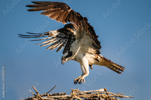 Poster Aigle Osprey (Pandion haliaetus)