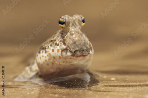фотография  Fish out of Water. Rockskipper fish on land. Amphibious fish