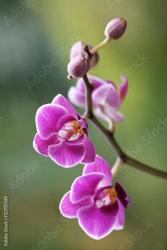 Fototapeta Orchidea na zielonym tle obraz