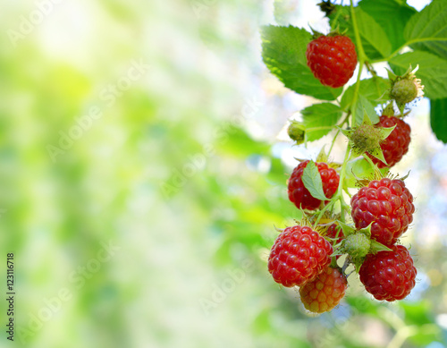 Raspberries in the sun on natural background. Close-up.