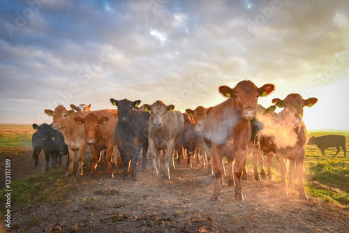 Photo  Rinderherde auf der Weide im Gegenlicht der aufgehenden Sonne, Atem  durch Kälte