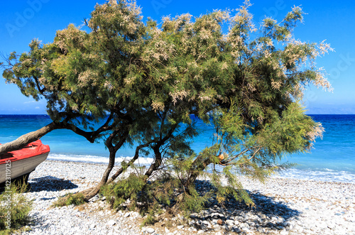 Divi divi trees and a red boat on the beach on the coast of Greek Island Rhodes Poster