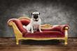 canvas print picture - Hund sitzt auf dem Sofa - Hundehotel