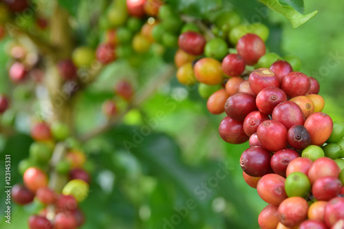 Fotomural  coffee cherry mix ripe red and unripe green on Coffea