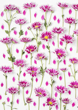 Fiori Sfondo Crisantemi
