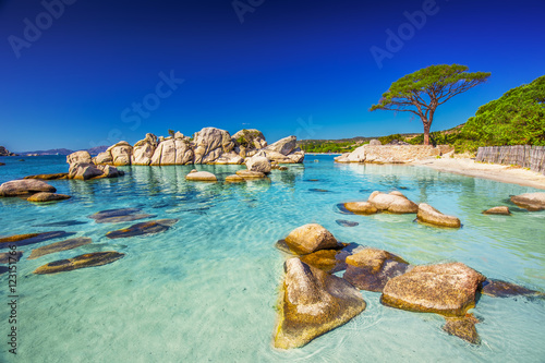 Foto op Plexiglas Strand Pine tree on Palombaggia beach, Corsica, France