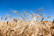 Wheat Field, Close-up On Husks Of Wheat