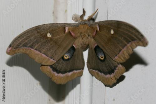 Photo  Polyphemus Moth