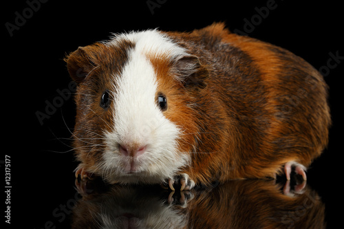 Fotografía  Close-up Red Guinea pig on isolated black background with reflection