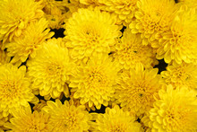 Yellow Chrysanthemum Flower Ba...
