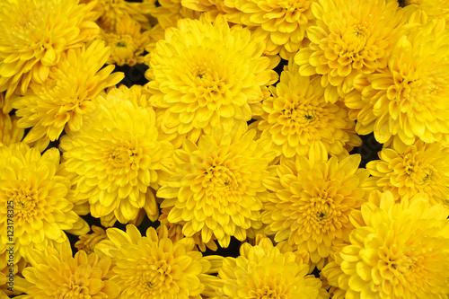 Tableau sur Toile yellow chrysanthemum flower background